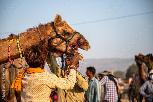 camel and his owner at pushkar camel festival. Canvas Print