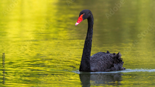 Black swan, cygnus atratus, swimming forward on a lake in sunny summer nature Slika na platnu