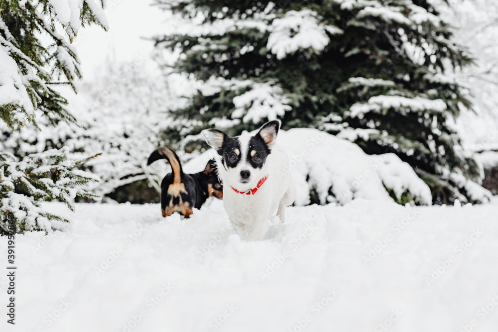 Fototapeta Two dogs playing in snow