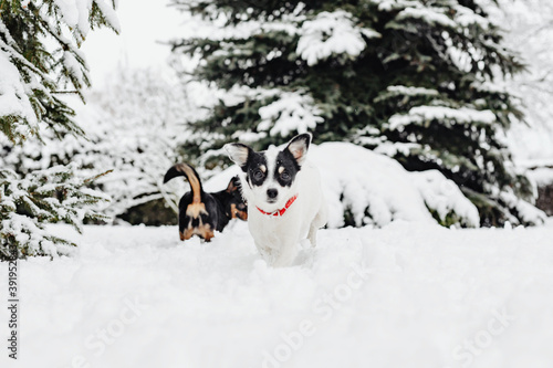 Obraz Two dogs playing in snow - fototapety do salonu