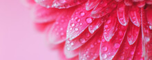Pink Gerbera Flower Petals Wit...