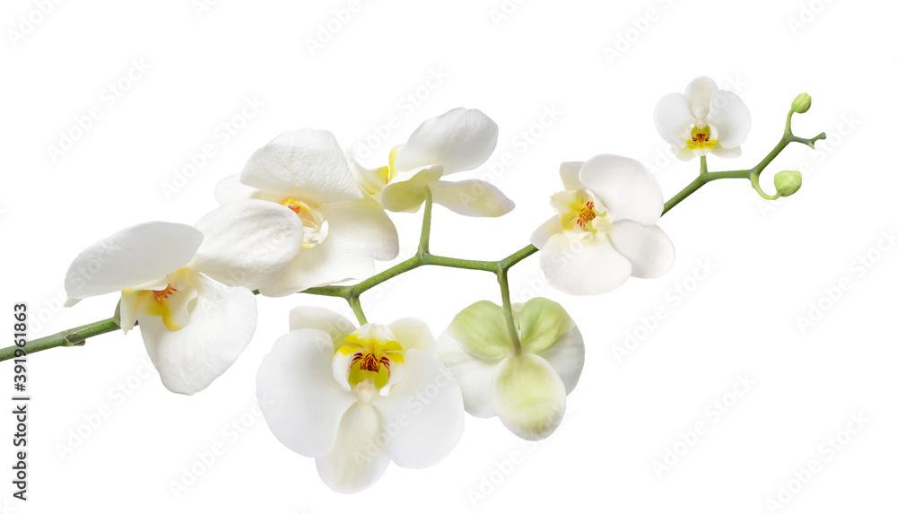 Fototapeta White orchid isolated on white. Vector