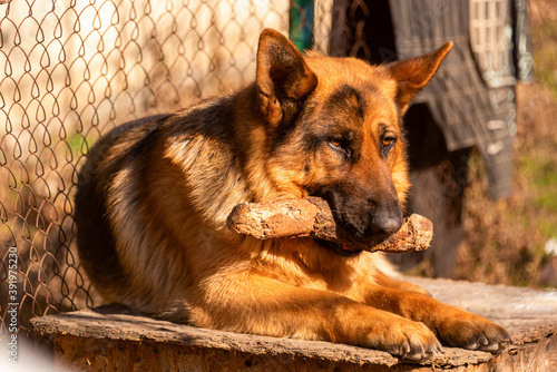 Foto German shepherd dog lying down outdoors and biting stick