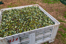 Freshly Harvested Olive Deposi...