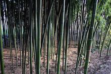Foresta Di Bambu Bambuseae