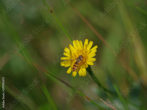 Fotografie, Obraz Marmalade hoverfly (Episyrphus balteatus) on a bright yellow flower of sow thist