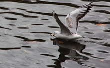 Seagull Flying Over The Water ...