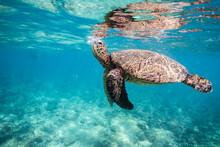 Sea Turtle Comes Up For Breath...