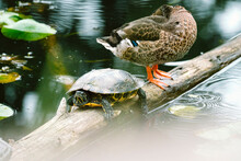 A Turtle And A Duck Resting Together On A Log In A Pond