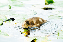 Closeup View Of A Mallard Duckling Drinking Water