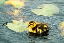 Closeup Side View Of A Baby Duckling Swimming On A Pond