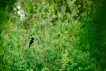 A Red-Winged Blackbird Perched...