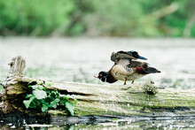 Side View Of A Male Wood Duck Stretching Its Wings