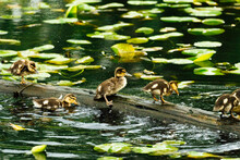 Young Ducklings Climbing On A Floating Log In Lake Washington