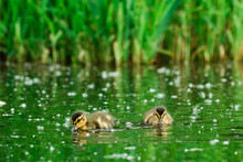 Straight On View Of Two Young Ducks Drinking Water On A Pond