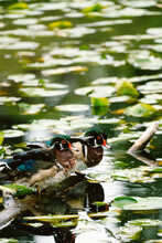Two Adult Male Wood Ducks Resting On A Log In Lake Washington