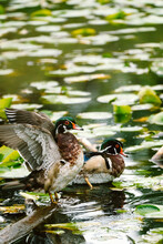 Side View Of An Adult Wood Duck Stretching Its Wings
