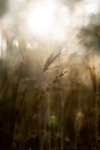 Detail Of Tall Grasses Back Lit By Summer Sun At Twilight