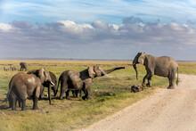 Family Group Of African Elephants, Loxodonta Africana, In Amboseli National Park, Kenya.