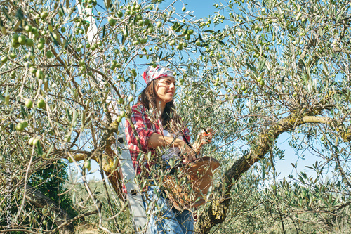 farmer works picking olives from the olive tree