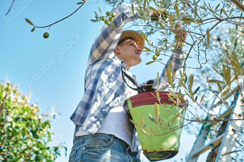 young boy works picking olives on a ladder