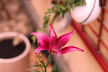 Fuchsia Lily In Urban Garden, ...