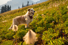 Fluffy Dog In Sunny Alpine Mea...