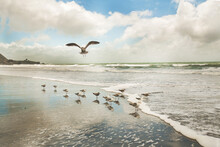 Seagulls Feeding On The Ocean Shore