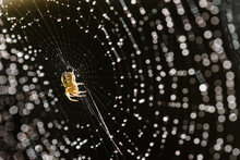 Tiny Garden Spider On Web Cove...