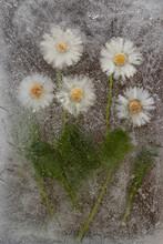 Margherite Congelate In Una Lastra Di Ghiaccio