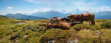 Group Of Milker Cows At Alpine Pasture Niederhorn Mountain, With View To Bernese Alps