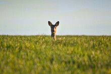 Roe Deer Looking At Camera In Green Field