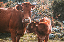Cow With Her Calf Looking At C...