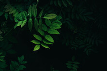 Close Up Bright Green Leaves W...