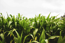 Corn Field Against Cloudy Sky