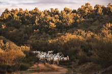 Flock Of Sheep At Sunrise On The Road During Autumn