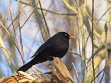 Blackbird In The Branches Of A Tree