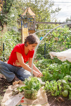 A Woman Picks Leafy Greens From Her Backyard Vegetable Garden In Sun