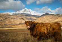 Highland Cow With Snow Capped Mountain In The Background
