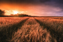 Sunset In A Field Of Barley