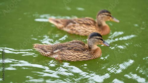zwei Enten schwimmen auf einem See in einem Park in Magdeburg