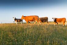 Cattle Walk Across Grass Field In Summer