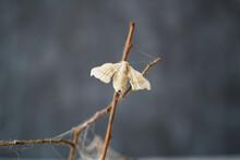Close-up Of Silkworm Butterfli...