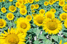 Close-up View Of A Field Of Su...