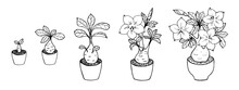 Adenium Home Flower Elements Set, Stages Of Growth, Development. Black Outline Drawing With White Fill On A White Background.