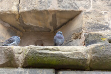 A Pair Of Pigeons Sit In The Loopholes Of A Fortification Wall.