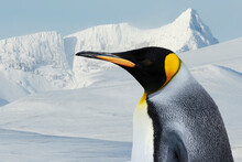 Portrait Of A King Penguin Against White Snowy Mountains In Winter