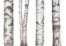 Set Of Natural Birch Trunks Is...