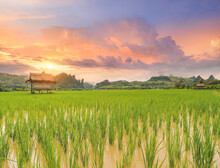 Rice Paddy Field Lanscape With...