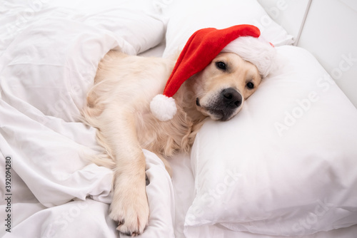 Canvastavla Cute golden retriever funny sleeping in bed in santa claus hat